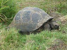 220px-Gigantic_Turtle_on_the_Island_of_Santa_Cruz_in_the_Galapagos